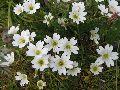 цветы Алтая 12