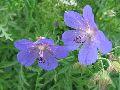 цветы Алтая 2