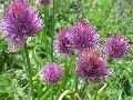 цветы Алтая 6