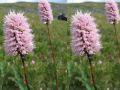 цветы Алтая 8